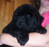 Newfoundland puppy photo:  Caramor's Captain Nemo (Ike x Mabel pup)