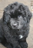 Newfoundland puppy image: Everest (Ike x Mabel pup)