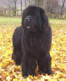 Newfoundland stud dog: Am Ch Tempest's First Draft Kilyka CD TDD CGC