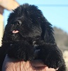 Newfoundland pup: Caramor's Finley' (Ike x Willow)