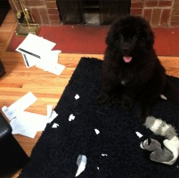 Newfoundland pup: Finnegan 'Who me?'