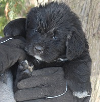 Newfoundland pup 'Caramor's Lily' (Ike x Louise)