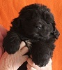 Newfoundland puppy image: Gracie (Ike x Willow)