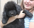 Newfoundland pup 'Caramor's Henry VI' (Excalibur x Penny pup)
