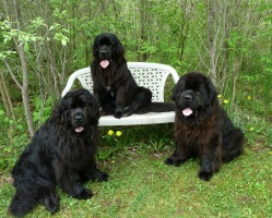 Newfoundland dogs: Ike, Madeline (on bench) & Sammy