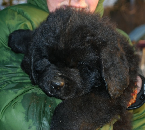 Newfoundland pup 'Caramor's Harley' (Boss x Cookie)
