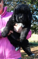 Photo of a Newfoundland puppy: Leonidas