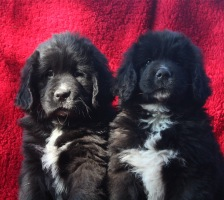 Photo of Newfoundland puppies: Wilson & Fergus@ 8 weeks