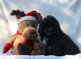 Photo of Newfoundland puppy: Wilson @ 8 weeks
