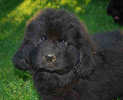 Newfoundland pup Bronte at 7 weeks old