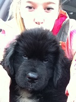 Newfoundland pup Lily