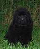 Newfoundland pup 'Caramor's Duncan In The St.-Law' (Guinness x Cookie)