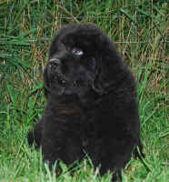 Newfoundland pup Duncan at 7 weeks of age