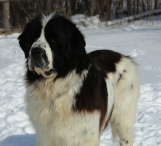 Photo of a Landseer Newfoundland: Louise