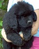 Newfoundland puppy photo: Cumara's Lucky (Cruiser x Rosie)