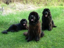 Newfoundland dogs: Madeline (laying down) Ike (middle) & Sammy