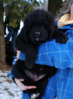 Newfoundland pup 'Caramor's Madison (Boss x Cookie)