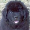 Newfoundland puppy photo: Cumara's Mag-Pie (Cruiser x Rosie)