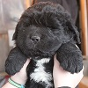Newfoundland puppy: Caramor's Manny (Everest x Willow)
