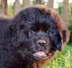 Newfoundland pup 'Caramor's Sadie' (Guinness x Cookie)