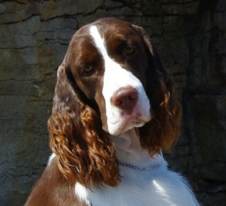 English Spriner Spaniel 'Marker'