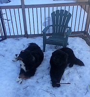 Newfoundland dog: Marley and Bernese Mountain Dog Ozzie