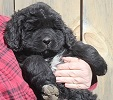Newfoundland puppy image: Caramor's Jamaican Girl (Everest x Willow)