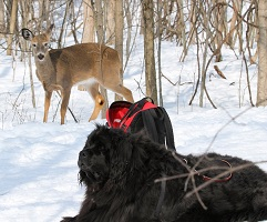 Newfoundland dog: Mathilda (Guinness x Cookie) meets up with some deer