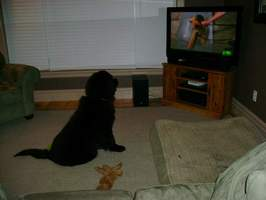 Newfoundland dog image: Mathilda watching Animal Planet's 'Dogs 101'