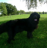 Newfoundland dog: Mathilda
