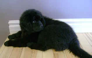Newfoundland pup image: Mathilda (September)