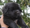 Newfoundland pup Caramor's McKinley (Ike x Willow)