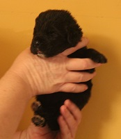 Newfoundland pup image: Mikayla at 10 days