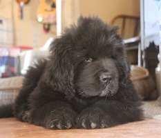 Newfoundland pup Nanakaia at 9 weeks old