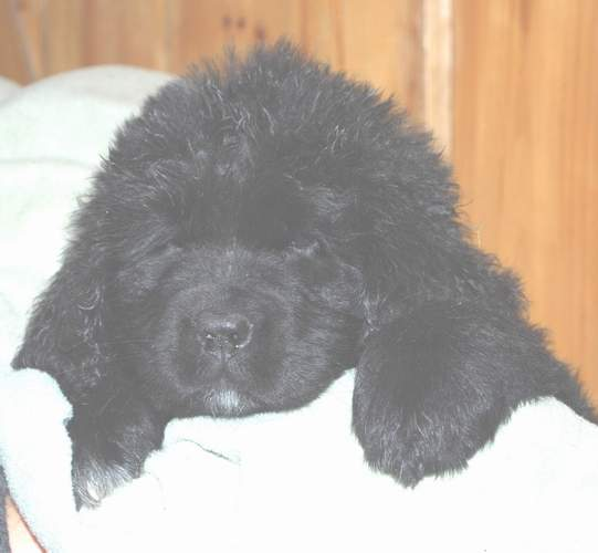 Image of 8 week old Newfoundland pup; 'Caramor's Charlotte'.