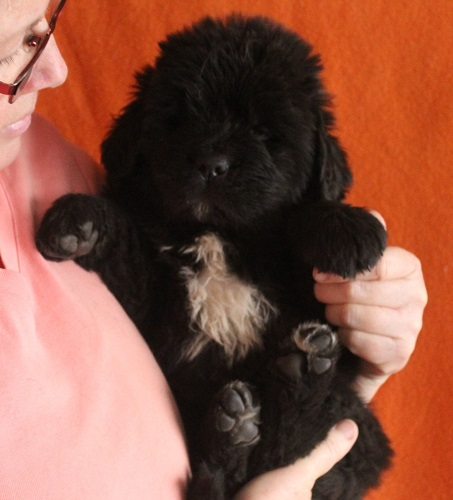 Newfoundland pup 'Milo' at 5 weeks