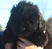 Newfoundland puppy image: Caramor's Madame Moose (Ike x Willow)