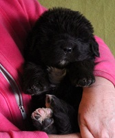 Newfoundland pup 'Caramor's Lady Guinevere' (Hector x Penny)