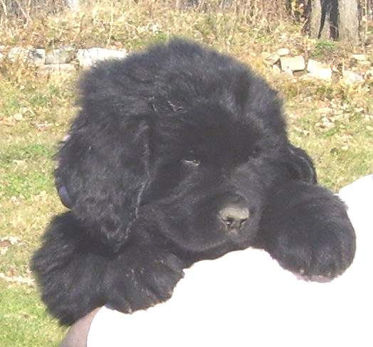 Image of 7 week old Newfoundland pup.