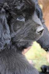 Newfoundland puppy photo: Navy at nine weeks old
