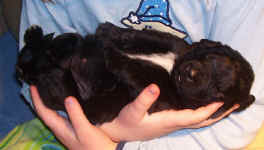 Newfoundland puppy image: Gracie at 2 weeks old.