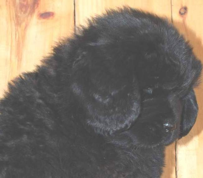 Newfoundland puppy image: Mabel at 7 weeks old.