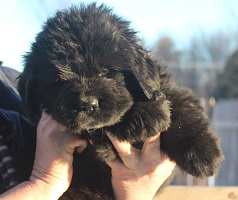 Newfoundland puppy image: Caramor's Paddington Bear (Ike x Willow pup)