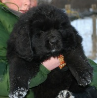 Newfoundland pup: Bailey (Boss x Cookie)