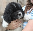 Newfoundland puppy image: Caramor's Paisley (Excalibur x Penny pup)