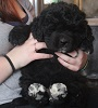 Newfoundland puppy image: Caramor's No Grit No Pearl (Everest x Willow pup)
