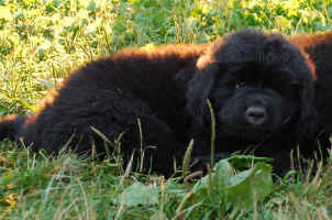 Newfoundland pup Mathilda at 7 weeks of age