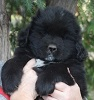 Newfoundland pup 'Caramor's Black Raven' (Ike x Willow)