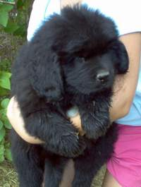 pic: Newfoundland pup; Lucky @ 7 weeks