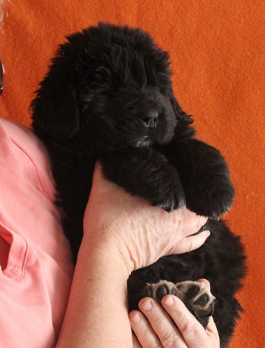 Newfoundland pup 'Rochelle' at 5 weeks